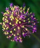 fiore dell'allium Fotografie Stock Libere da Diritti
