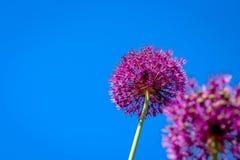 Fiore dell'allium che fiorisce con il fondo del cielo blu Fotografia Stock Libera da Diritti
