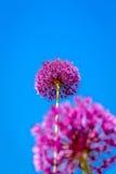 Fiore dell'allium che fiorisce con il fondo del cielo blu Immagine Stock Libera da Diritti
