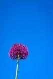 Fiore dell'allium che fiorisce con il fondo del cielo blu Fotografie Stock Libere da Diritti