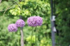 Fiore dell'allium (cipolla ornamentale) Immagini Stock Libere da Diritti