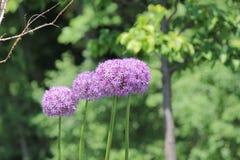 Fiore dell'allium (cipolla ornamentale) Fotografia Stock