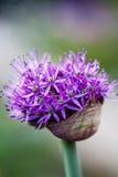 Fiore dell'allium con la testa luminosa della viola su un fondo del giardino Fotografia Stock Libera da Diritti