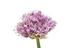 Fiore dell'allium isolato Fotografia Stock Libera da Diritti