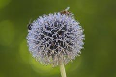 Fiore dell'allium nel giardino Fotografia Stock