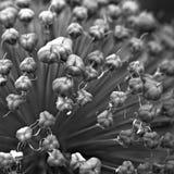 Fiore dell'allium - quadrato - 3 Fotografia Stock Libera da Diritti