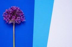 Fiore dell'allium su fondo variopinto Immagini Stock Libere da Diritti