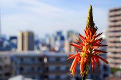 Fiore dell'aloe Fotografie Stock Libere da Diritti