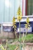Fiore dell'aloe Fotografia Stock