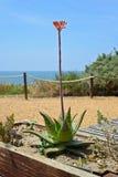 Fiore dell'aloe nella Praia da Rocha, Portogallo Immagini Stock