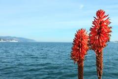 Fiore dell'aloe sopra il mare Fotografie Stock Libere da Diritti