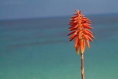 Fiore dell'aloe su fondo blu Immagine Stock