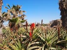 Fiore dell'aloe sulle rovine di Cesarea in Israele Fotografia Stock Libera da Diritti