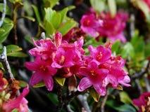 Fiore dell'alpe Immagini Stock