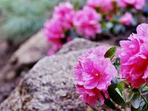 Fiore dell'alpe fotografie stock