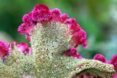 Fiore dell'amaranto - particolare Fotografia Stock
