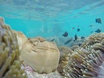Fiore dell'anemone in mare blu Fotografia Stock