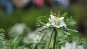 Fiore dell'anemone, primo piano Fiori selvaggi e piante Fiori selvaggi Fiori variopinti sul campo Wildflowers fra video d archivio