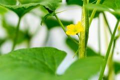 Fiore dell'anguria con la giovane anguria Fotografie Stock Libere da Diritti