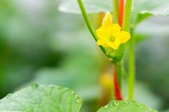 Fiore dell'anguria con la giovane anguria Fotografia Stock