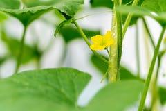 Fiore dell'anguria con la giovane anguria Immagine Stock