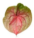 Fiore dell'anturio Fotografie Stock