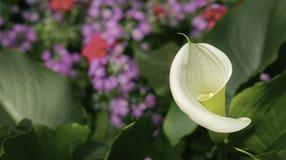 Fiore dell'anturio Immagine Stock Libera da Diritti
