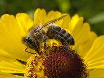 fiore dell'ape Immagini Stock Libere da Diritti