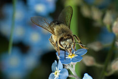 fiore dell'ape Immagini Stock
