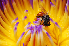 fiore dell'ape Fotografia Stock Libera da Diritti