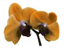 Fiore dell'arancia dell'orchidea Isolato su fondo bianco con il percorso di ritaglio closeup Il ramo delle orchidee Fotografie Stock