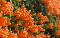 Fiore dell'arancia della tromba della gamma Fotografie Stock Libere da Diritti