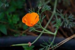 Fiore dell'arancia selvatica Fotografia Stock Libera da Diritti