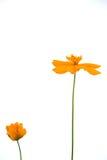 Fiore dell'arancio del tagete Immagini Stock Libere da Diritti