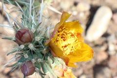 Fiore dell'Arizona Fotografie Stock