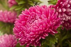 Fiore dell'aster fotografie stock libere da diritti