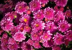 Fiore dell'aster ad estate scenetta, fondo, natura immagini stock libere da diritti