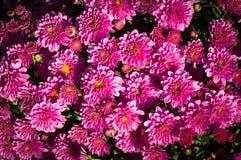 Fiore dell'aster ad estate scenetta, fondo, natura immagine stock libera da diritti