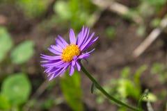 Fiore dell'aster alpino (alpinus dell'aster) Immagini Stock Libere da Diritti