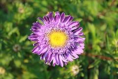 Fiore dell'aster di Veolet Fotografie Stock Libere da Diritti