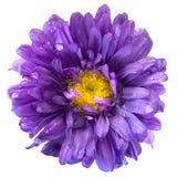 Fiore dell'aster dopo la pioggia isolata Immagini Stock
