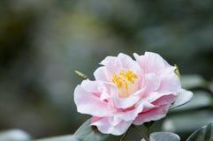 Fiore dell'azalea Immagini Stock
