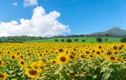Fiore dell'azienda agricola sul girasole e sulle montagne fotografie stock libere da diritti