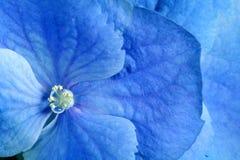 Fiore dell'azzurro di bellezza Fotografie Stock
