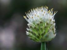Fiore dell'cipolle immagini stock