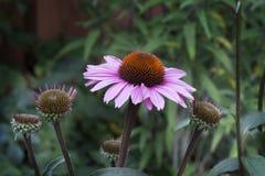Fiore dell'echinacea immagini stock