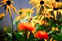 Fiore dell'echinacea fotografia stock libera da diritti