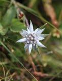 Fiore dell'edelweiss Fotografie Stock Libere da Diritti