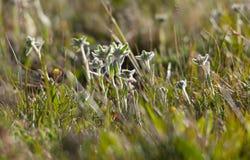Fiore dell'edelweiss in erba verde Fotografia Stock Libera da Diritti