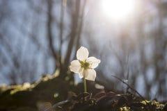 Fiore dell'elleboro in priorità alta della scena della natura Immagine Stock